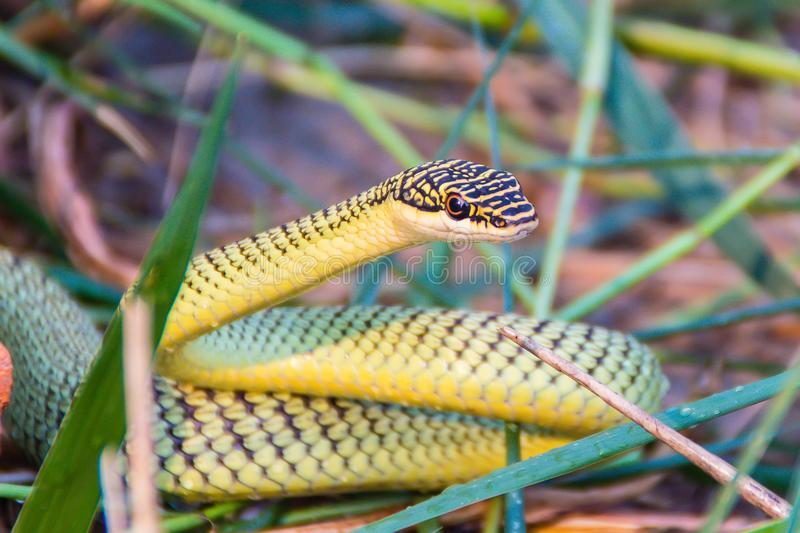 Cute golden tree snake (Chrysopelea ornata) is slithering on cluttered grass. Chrysopelea ornata is also known as golden tree snak royalty free stock images