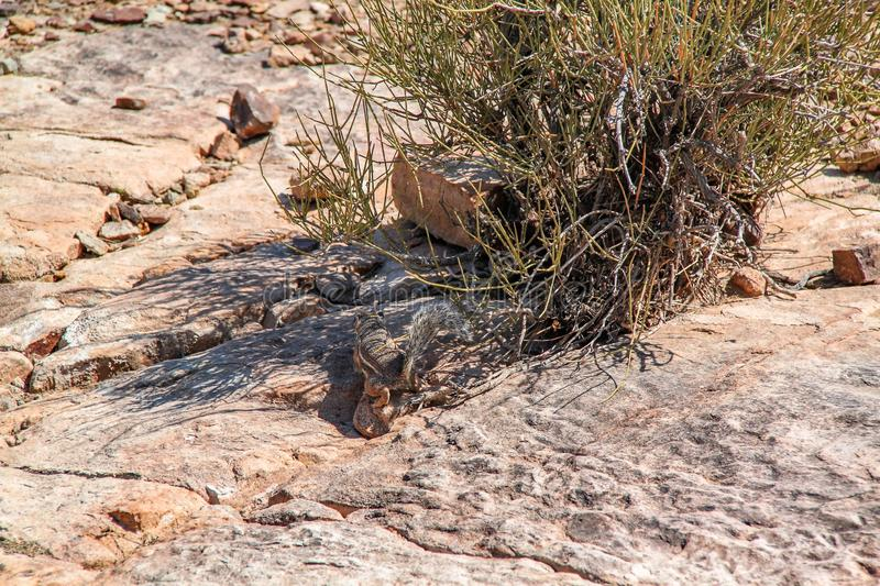 Cute gopher in desert. Close up view. Grand Canyon. Beautiful nature background stock photo