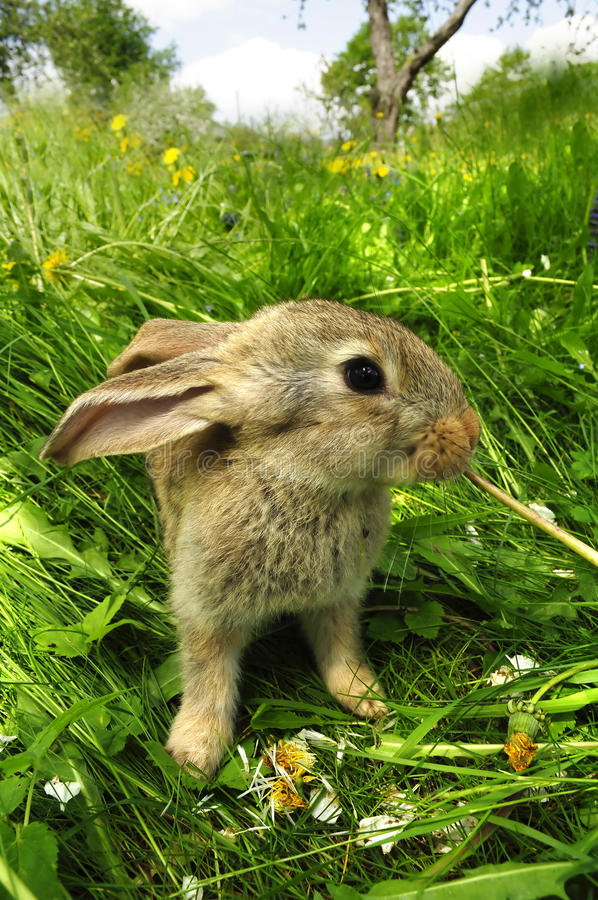 Cute Gray Baby Rabbit. A cute gray baby rabbit eating a dandelion stock image