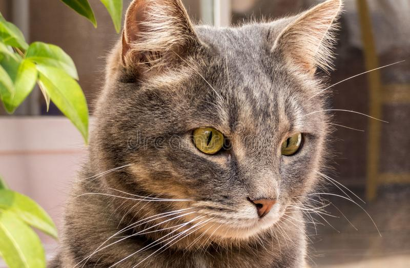Cute gray cat with large yellow eyes , close up portrait royalty free stock photography