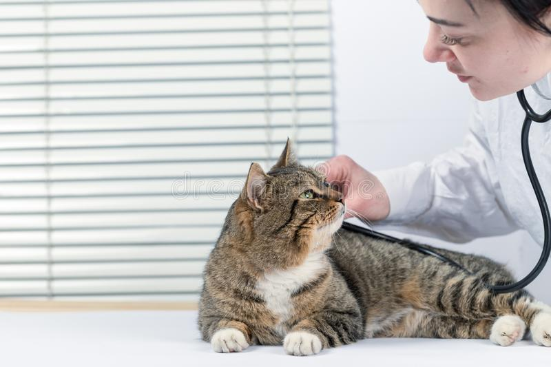 Cute gray cat in a veterinary clinic examined by a doctor stock image