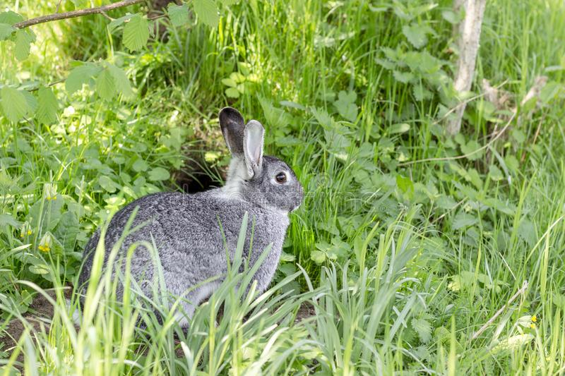 Download A Cute Gray Chinchilla Rabbit Stock Image - Image of rodent, garden: 115679877