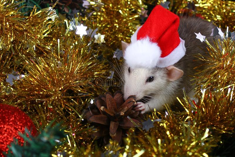 Cute gray domestic rat in hat in a New Year`s decor. Symbol of the year 2020 is a rat stock photo