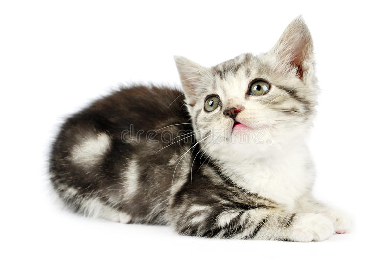 Cute gray kitten. Over white background royalty free stock photo