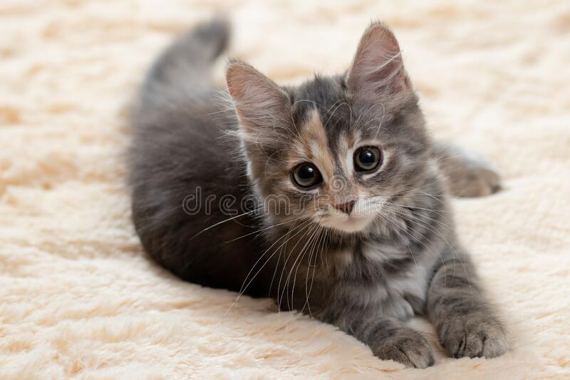 Cute gray kitten lies on a beige fur blanket stock image