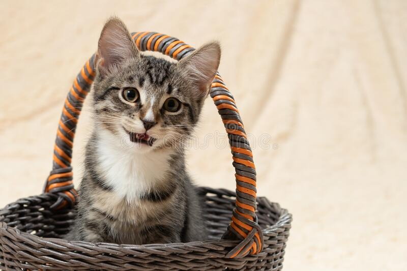 Cute gray kitten meows while sitting in a basket on a background of a cream fur plaid royalty free stock image