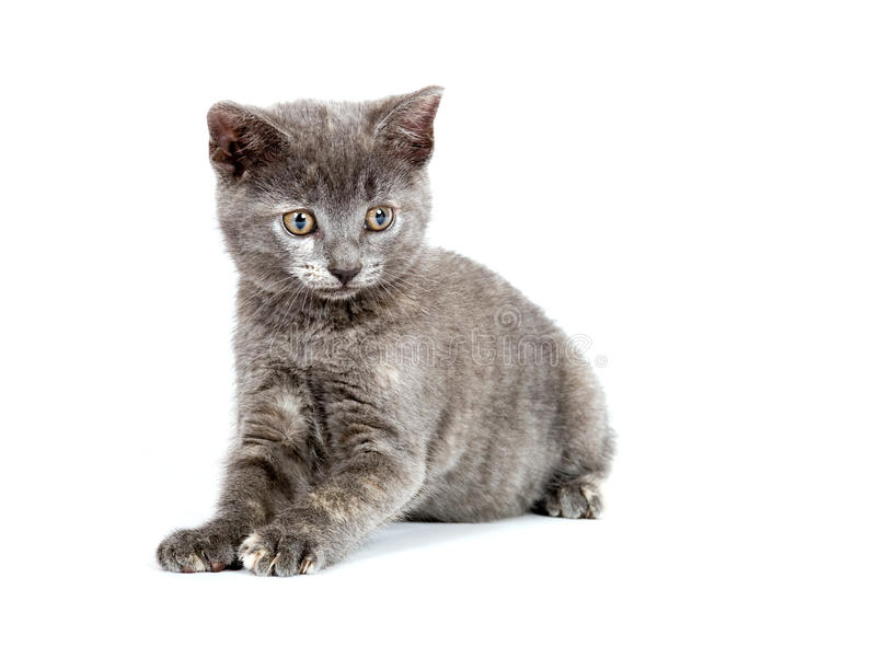 Download Cute gray kitten playing stock photo. Image of looking - 10654976