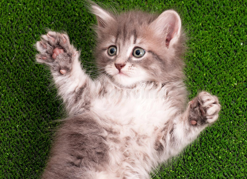 Cute gray kitten. Playing on artificial green grass royalty free stock image