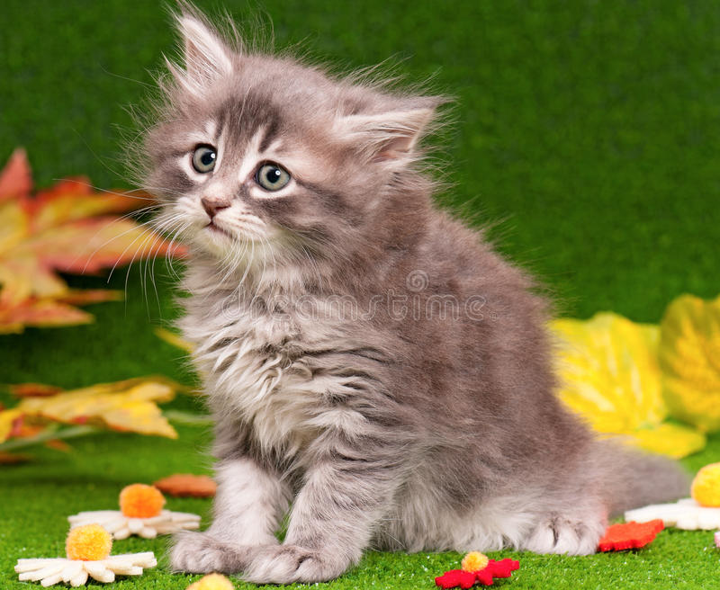 Cute gray kitten. Playing on artificial green grass royalty free stock photos