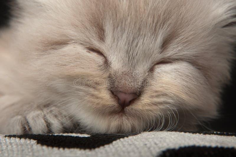Cute gray kitten resting on pillow stock image