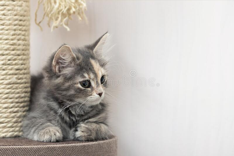 Cute gray kitten sits near a scratching post on cat`s furniture. Horizontal banner, copy space. royalty free stock photos