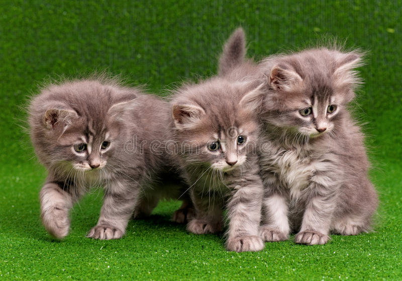 Cute gray kittens. On artificial green grass royalty free stock photography