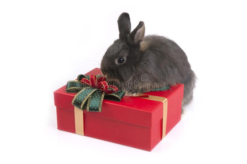 Gray netherland dwarf rabbit on red gift box stock photos