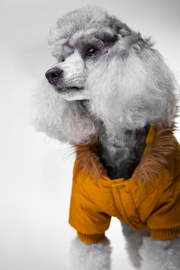 Cute gray poodle with yellow jacket on grey. Close-up portrait of cute small gray poodle wearing fashionable textile yellow jacket with fur on grey background stock images