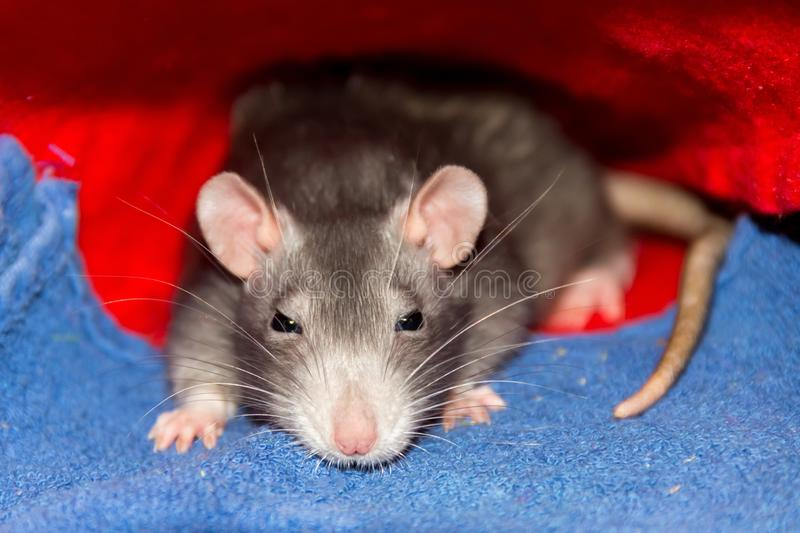 Cute gray rats small with big ears long mustache hiding under a rug sits watching with sleepy eyes stock image