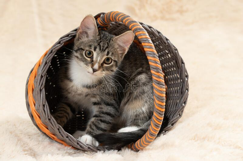Cute gray tabby kitten sits in a wicker basket on a background of a cream fur blanket royalty free stock photography