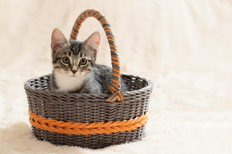 Cute gray tabby kitten sits in a wicker basket on a background of a cream fur plaid, copy space royalty free stock photos