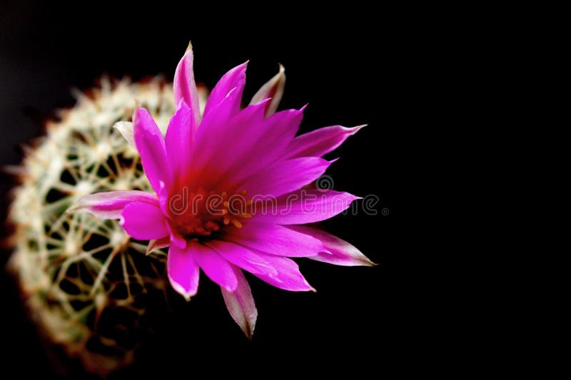 Cute green cactus in pot with pink flowers on black background. Cute green cactus in pot with beautiful pink flowers on black background stock image