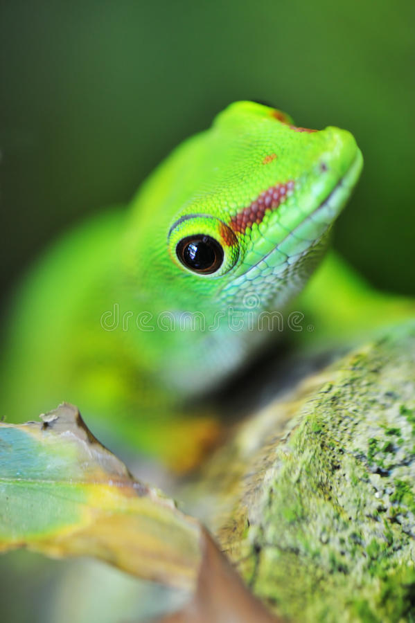 Cute green gecko. Close up of a cute green gecko stock photo