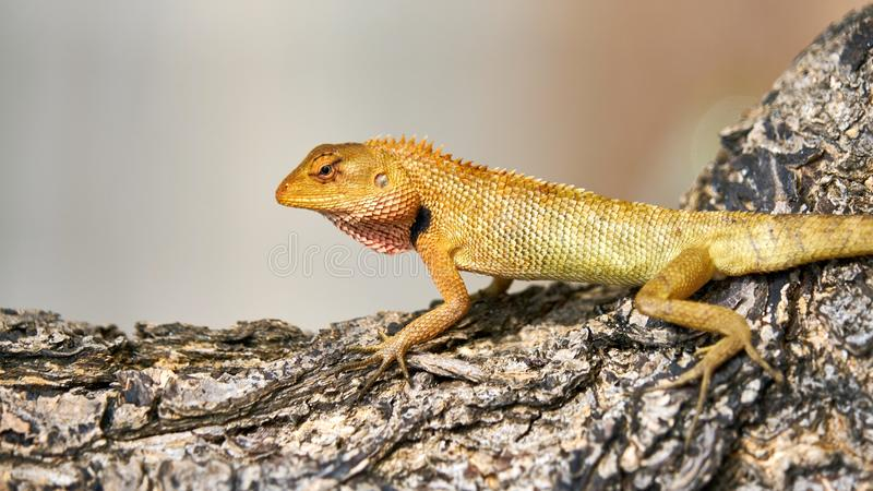 Cute green lizard sits on a tree. Pangan. Thailand stock photos
