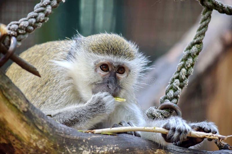 Cute Green Monkey Eating Branch. Portrait stock photos