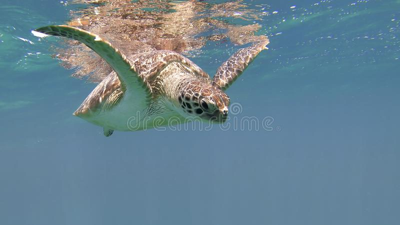 Cute green sea turtle Chelonia mydas. Swim swims in turquoise water in a lagoon of red sea, Marsa Alam, Egypt royalty free stock photography
