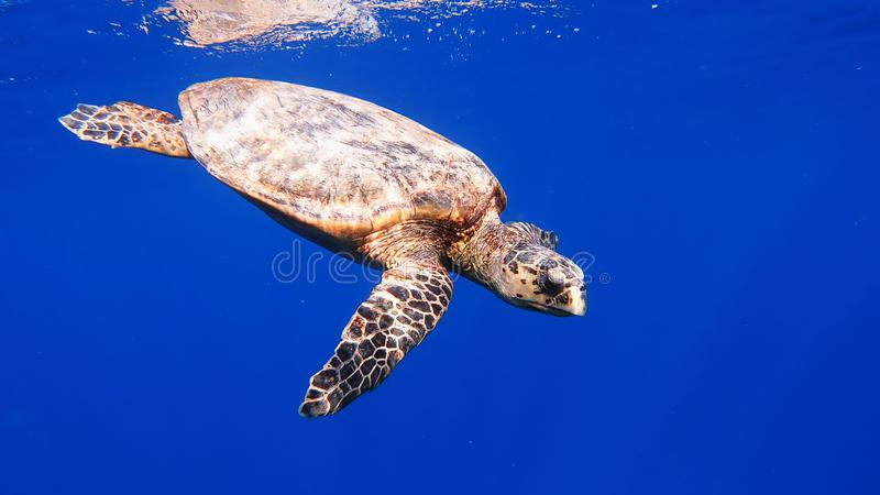 Cute green sea turtle Chelonia mydas. Swim in deep blue water reef of red sea, Marsa Alam, Egypt royalty free stock photo