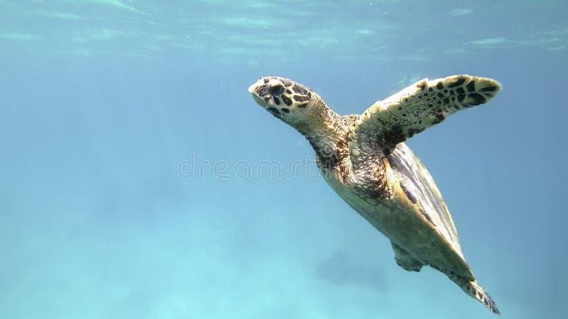 Cute green sea turtle Chelonia mydas. Swim swims in turquoise water in a lagoon of red sea, Marsa Alam, Egypt stock photo