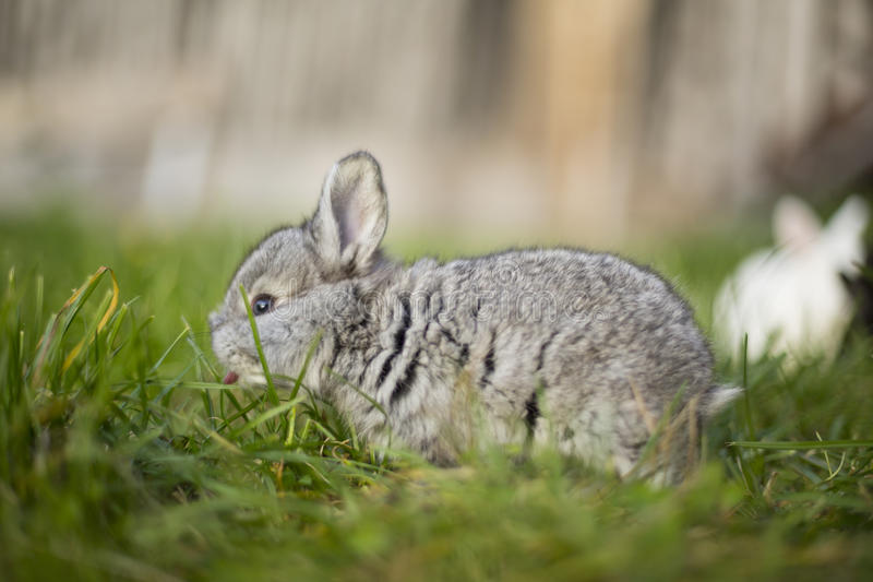 Cute grey bunny royalty free stock photography