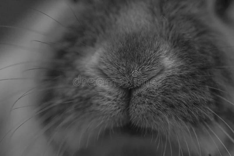Cute grey bunny nose as a macro stock photo
