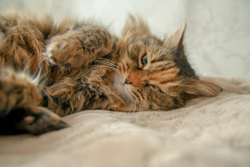 Cute Grey Cat Lying at the Bed Looking at You stock photography
