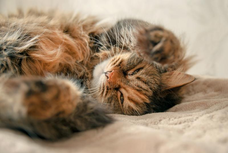 Cute Grey Cat Lying at the Bed Looking at You royalty free stock image