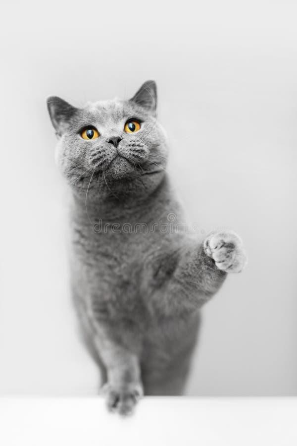 Cute grey cat raising his paw, playing. British shorthair cat, purebred pet stock photography