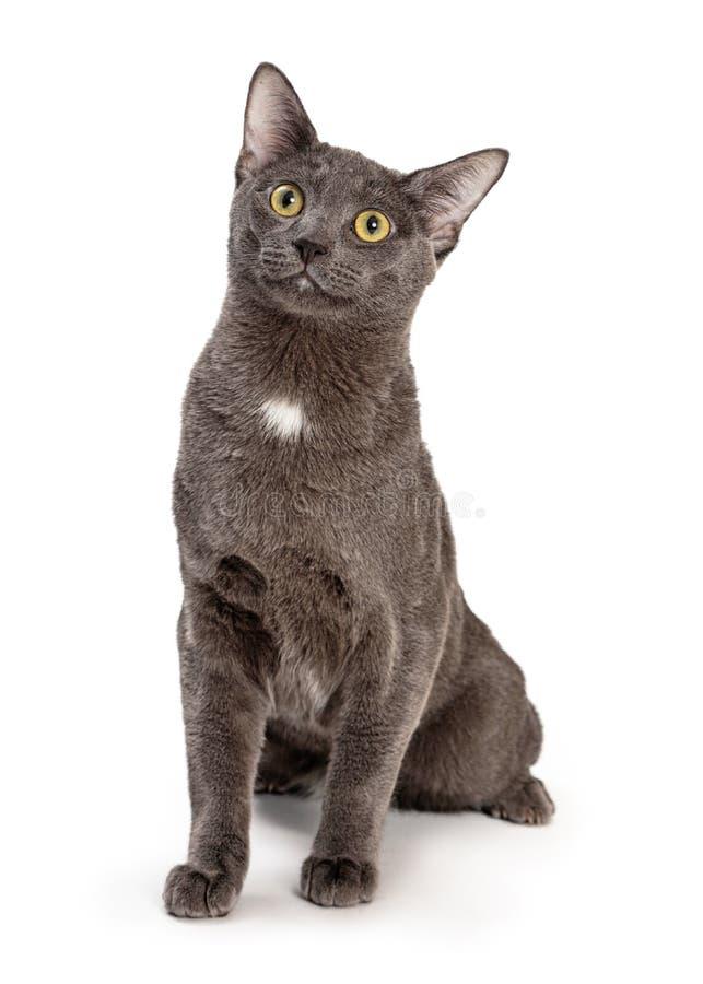 Cute Grey Cat Sitting Up Kijkt naar boven royalty-vrije stock fotografie