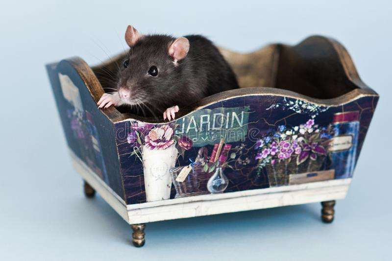 Grey fancy rat in stylized vintage box royalty free stock images