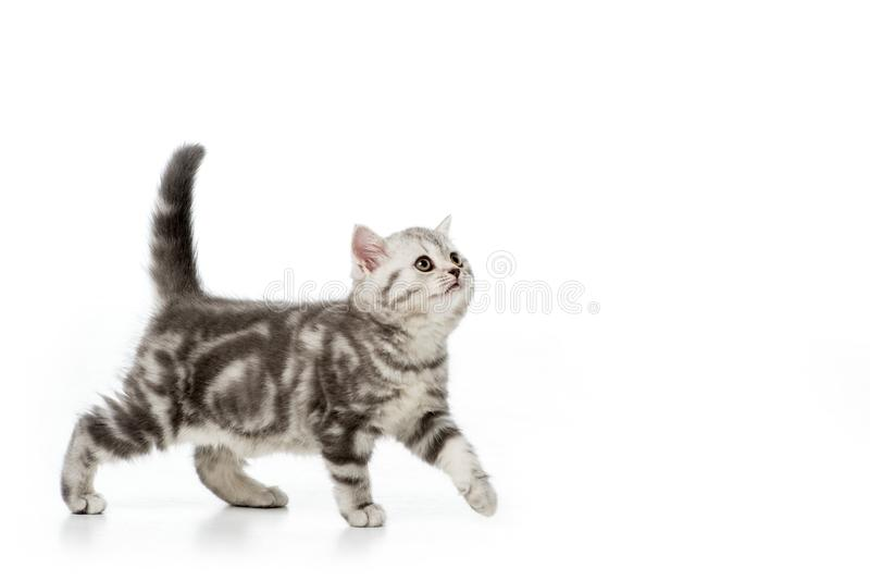 cute grey fluffy kitten walking and looking up stock image