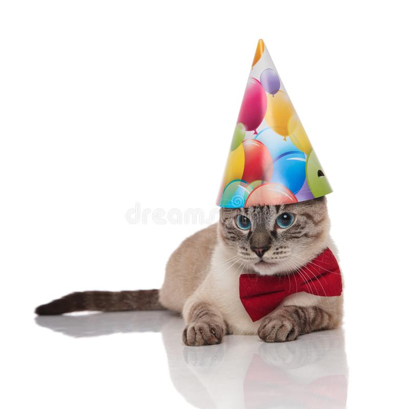 Cute grey metis cat wearing bowtie and birthday hat. Cute grey metis cat wearing red bowtie and birthday hat resting on white background looks to side royalty free stock images