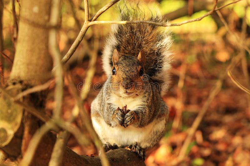 Cute grey squirrel eating nut in shrubs royalty free stock photography