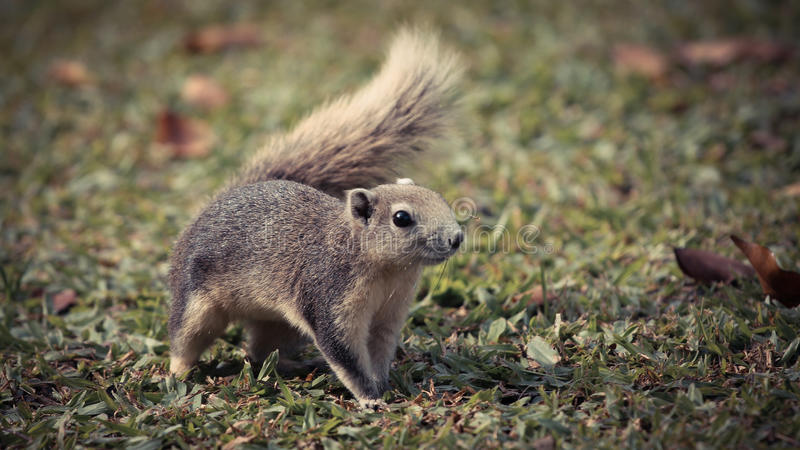 Cute Grey Squirrel royalty free stock image
