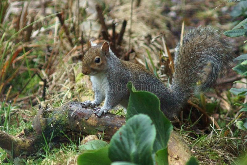 Cute Grey Squirrel stock images