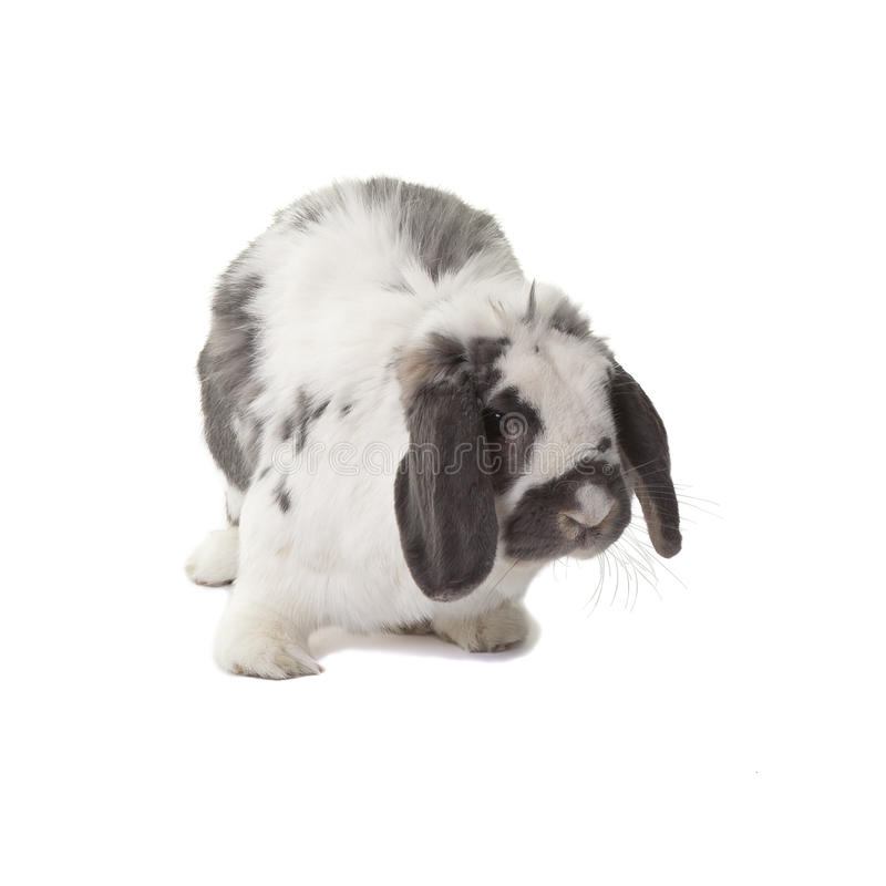 Download Cute Grey And White Bunny Rabbit Facing Right Stock Image - Image: 24346399