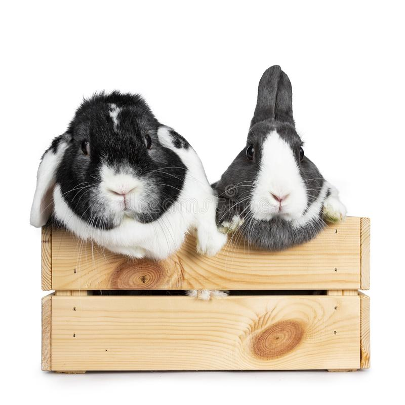 Cute grey with white European rabbit, and black with white lop ear friend. Isolated on white background. stock photos