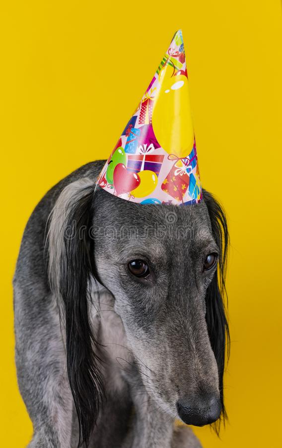 Cute dog with a birthday party hat on isolated on a yellow background. greyhound. hat with copyscpace. puppy mischief. Cute greyhound with a birthday party hat royalty free stock photo