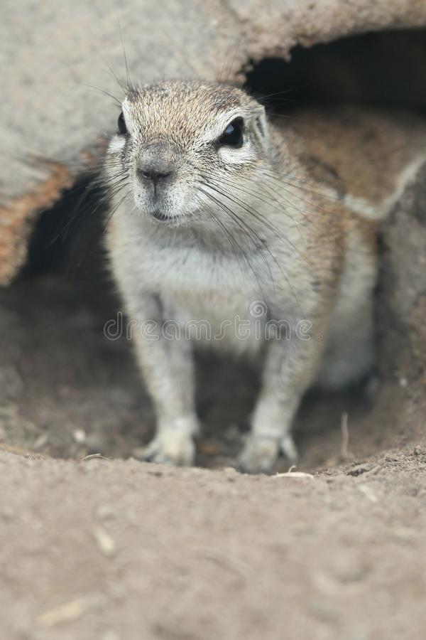 Cute Ground Squirrel Royalty Free Stock Photo
