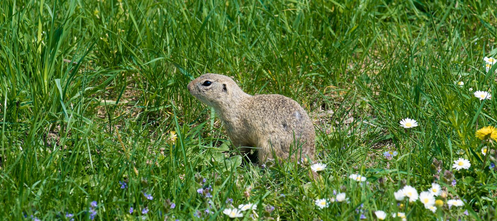 Cute ground squirrel on fresh flower meadow. Cute tiny ground squirrel on fresh flower meadow stock image