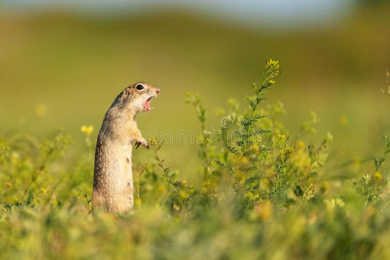 Cute Ground squirrel Spermophilus pygmaeus stands in the grass with his mouth open. Side view.  stock photography
