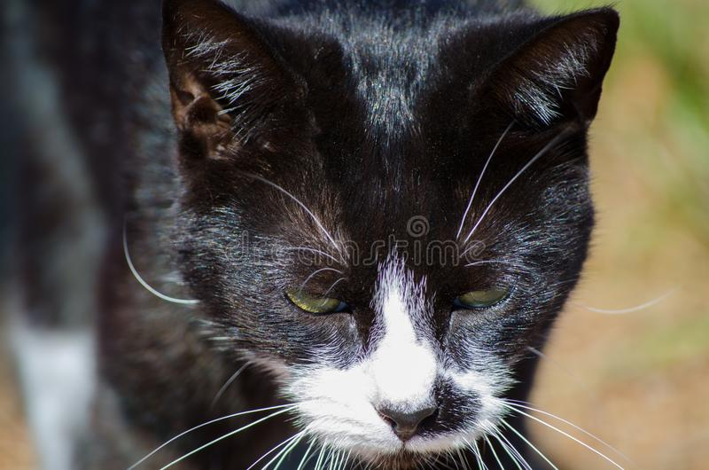 Grumpy face black cat, white face with yellow eyes in close-up. A Cute Grumpy face black cat, white face with yellow eyes in close-up royalty free stock photography