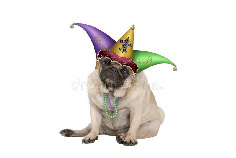Cute grumpy Mardi gras carnival pug puppy dog sitting down with harlequin jester hat stock image