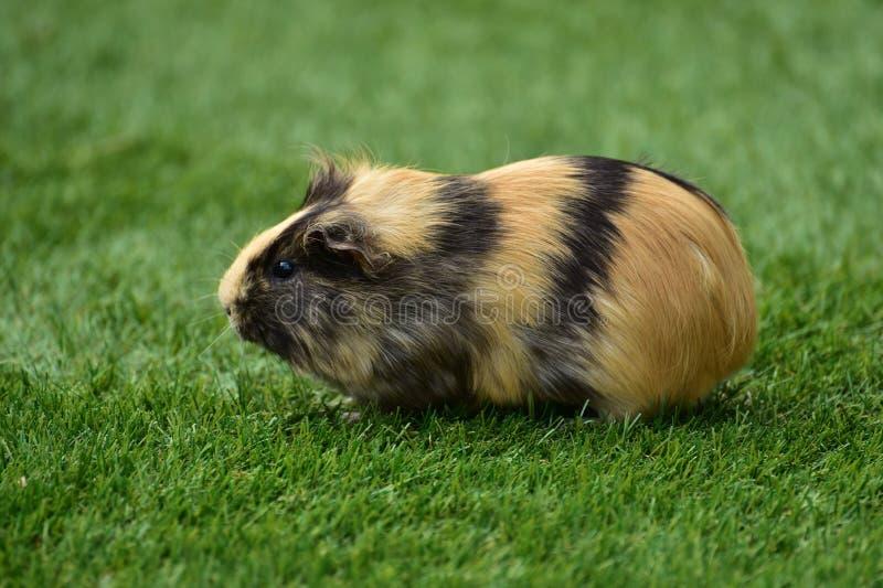 Cute Guinea Pig Free Public Domain Cc0 Image