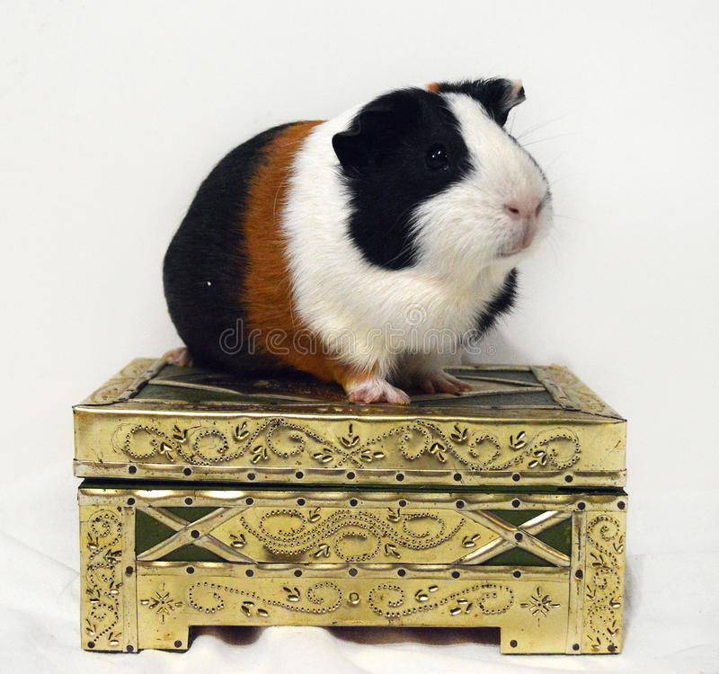 Cute guinea pig on the box of golden color royalty free stock photos